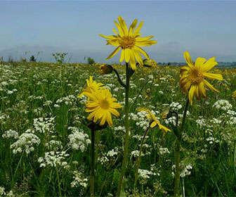 fotos de la planta arnica montana salvaje