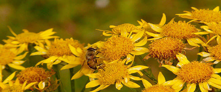 Polinización de las flores de arnica montana