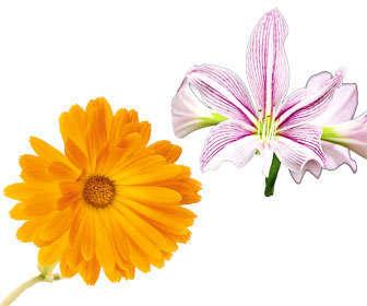 Flores medicinales de Atropa Belladonna y Calendula officinalis