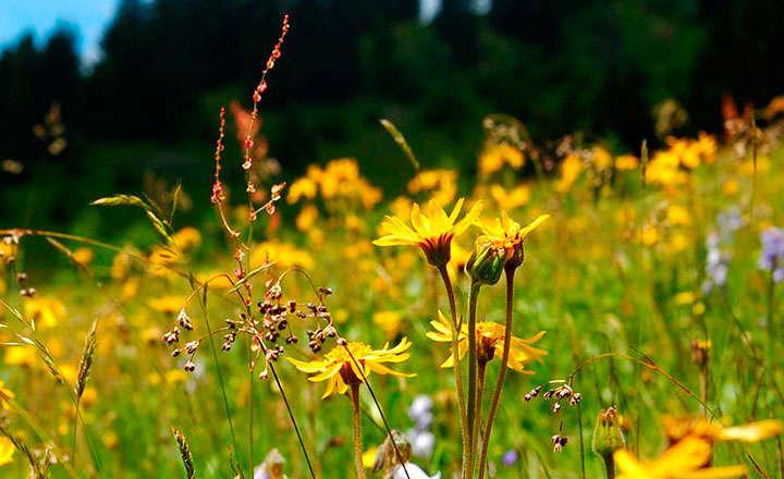 Para qué sirve la flor de arnica