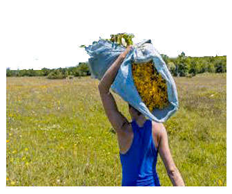 planta arnica recoleccion